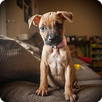 Adopt A Pet :: Kona - Raleigh, NC