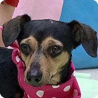 Adopt A Pet :: Little Bit - Evansville, IN