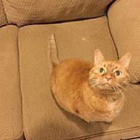 Calico Cat for adoption in King, North Carolina - Mango
