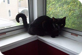 Domestic Shorthair Cat for adoption in New Richmond, Ohio - Ashley - Adopted!!