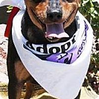 Adopt A Pet :: Nigel - Gilbert, AZ