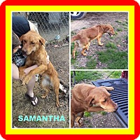 Labrador Retriever Mix Dog for adoption in Malvern, Arkansas - SAMANTHA