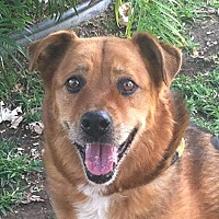 Shepherd (Unknown Type)/Boxer Mix Dog for adoption in Canoga Park, California - Jack