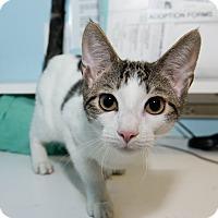 Adopt A Pet :: Cameron - New York, NY