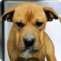 Adopt A Pet :: Augie - Naugatuck, CT