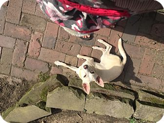 Italian Greyhound/Chihuahua Mix Dog for adoption in Cleveland, Ohio - Dobby