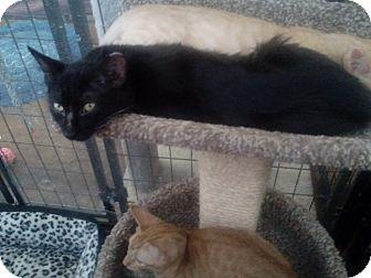 Domestic Mediumhair Kitten for adoption in Glendale, Arizona - Ebony