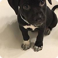 Adopt A Pet :: Vinnie - Goldsboro, NC