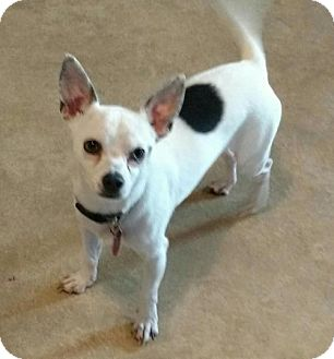 Chihuahua Dog for adoption in Centreville, Virginia - Romeo