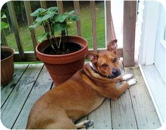Boxer/Cattle Dog Mix Dog for adoption in Nolensville, Tennessee - Dixie