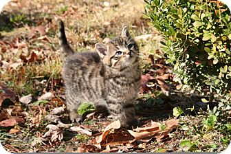 American Shorthair Kitten for adoption in Plainfield, Connecticut - Yogi