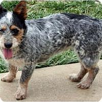 Adopt A Pet :: Bella - Westfield, IN