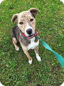 Australian Shepherd Mix Dog for adoption in Breinigsville, Pennsylvania - Mosby **IN FOSTER**