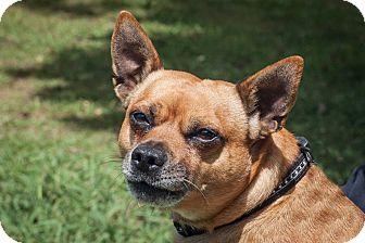 Miniature Pinscher/Pug Mix Dog for adoption in St Helena, California - Robbie