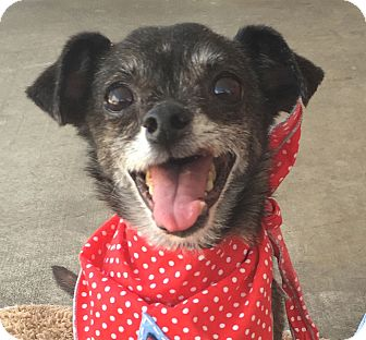 Chihuahua Dog for adoption in Canoga Park, California - Jake *The Cutie Patootie*