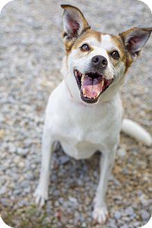 Jack Russell Terrier/Beagle Mix Dog for adoption in Scranton, Pennsylvania - Muffy (Senior Discount)