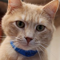 Domestic Shorthair Cat for adoption in Savannah, Missouri - Benny