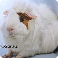 Adopt A Pet :: Roxanne - Santa Barbara, CA