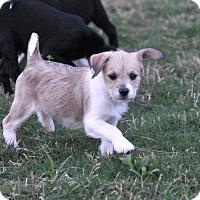 Adopt A Pet :: Hope - Manchester, VT