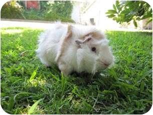 Guinea Pig for adoption in Fullerton, California - Darlus & Dylan