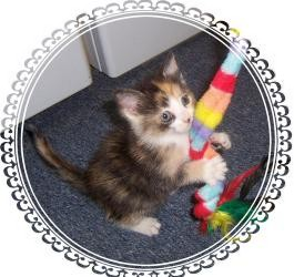Calico Kitten for adoption in South Plainfield, New Jersey - Sweet Pea!