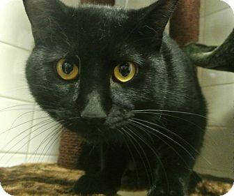 Burmese Cat for adoption in white settlment, Texas - Axle