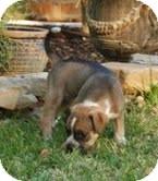 Boston Terrier Mix Puppy for adoption in Staunton, Virginia - Daisy