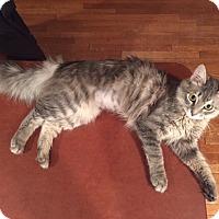 Adopt A Pet :: Sofie- Love Bug! - Arlington, VA