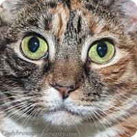 Domestic Shorthair Cat for adoption in Wellesley, Massachusetts - Flame