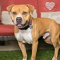 Boxer/Pit Bull Terrier Mix Dog for adoption in Inglewood, California - Jackson