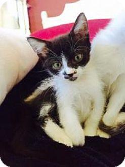 Domestic Shorthair Kitten for adoption in Mission Viejo, California - Raven