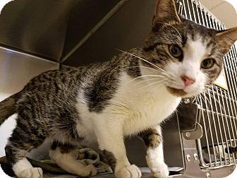 Domestic Shorthair Cat for adoption in Windsor, Virginia - Felix