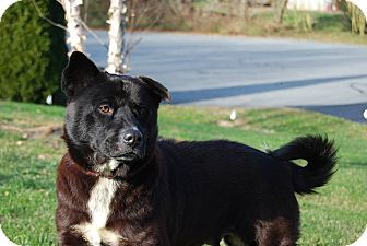 Chow Chow/Spitz (Unknown Type, Medium) Mix Dog for adoption in Columbia, Pennsylvania - Olive
