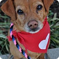 Adopt A Pet :: Connor - Fairfax Station, VA