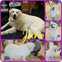 Adopt A Pet :: Juno - Ft Worth, TX