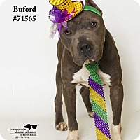 Adopt A Pet :: Buford (Foster Care) - Baton Rouge, LA