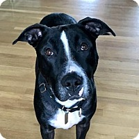 Adopt A Pet :: MICKEY - easy going companion dog - Bainbridge Island, WA
