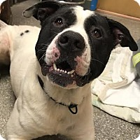 Adopt A Pet :: Moo - Reisterstown, MD
