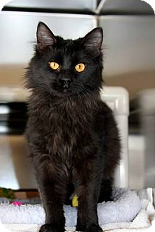 Domestic Shorthair Cat for adoption in Ridgway, Colorado - Mica