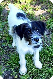 Schnauzer (Miniature)/Terrier (Unknown Type, Small) Mix Puppy for adoption in North Olmsted, Ohio - Olive