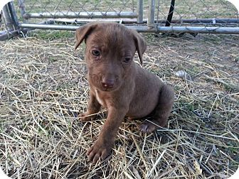 German Shorthaired Pointer/Border Collie Mix Puppy for adoption in Linton, Indiana - Zack