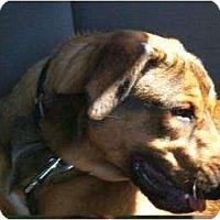 Adopt A Pet :: Devon GENTLE GIANT - Antioch, IL