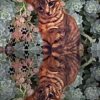 Domestic Shorthair Cat for adoption in Bryan, Texas - Tigress