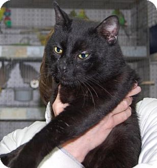 Domestic Shorthair Cat for adoption in Brooklyn, New York - Radley