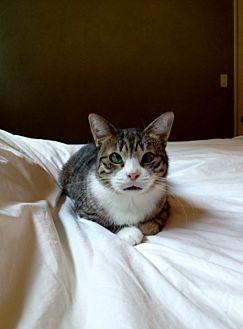Domestic Mediumhair Cat for adoption in Los Angeles, California - BATMAN