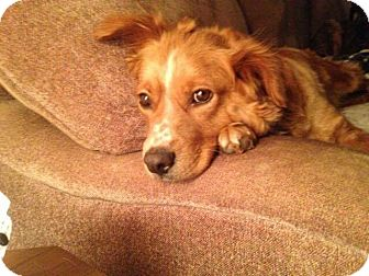 Retriever (Unknown Type) Mix Dog for adoption in Providence, Rhode Island - Peanut Butter