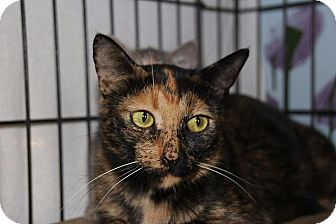 Domestic Shorthair Cat for adoption in Ann Arbor, Michigan - Clariee (Semi feral)