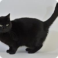Domestic Shorthair Cat for adoption in New Iberia, Louisiana - ONYX