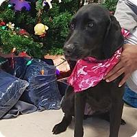 Adopt A Pet :: Farrah - Lebanon, ME