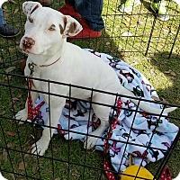 Adopt A Pet :: Sugar - Crowley, LA